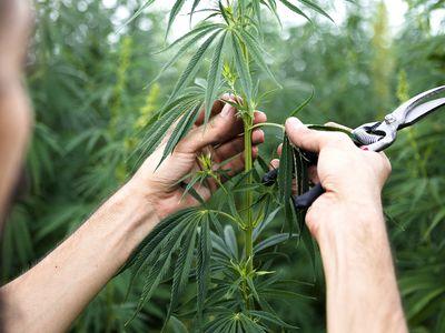 Cannabis plants exemination