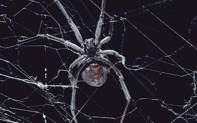 Spider Bites Symptoms Treatment Identification