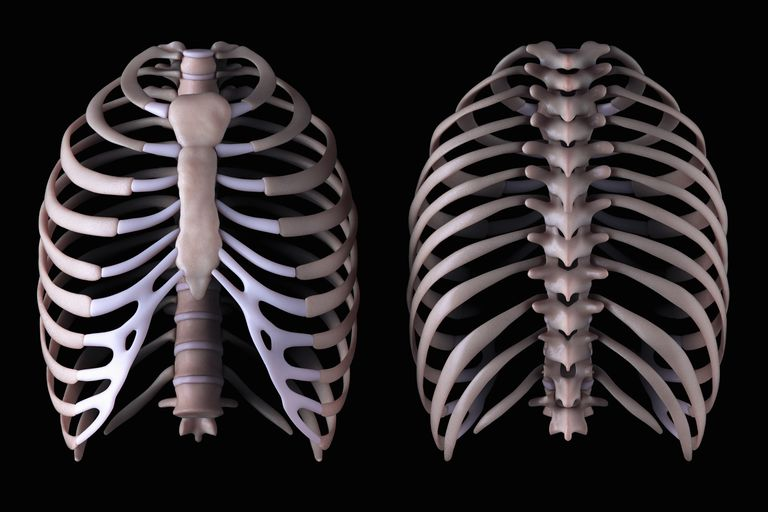 An image of the thoracic spine from the front and the rear
