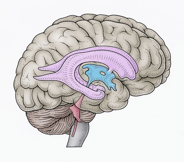 illustration of brain ventricles