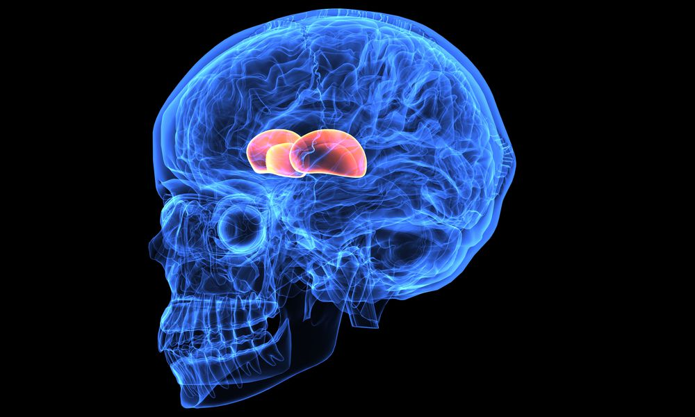 Thalamus and hypothalamus in the diencephalon of the brain