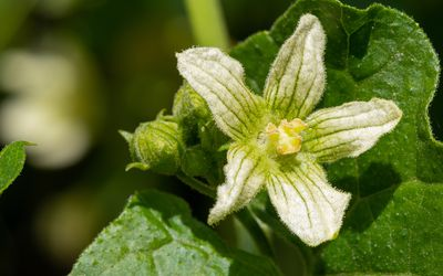 Bryonia alba flower