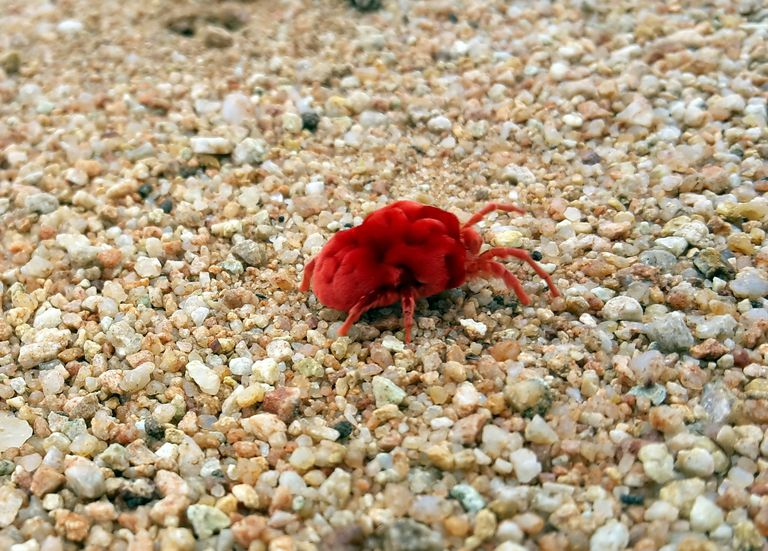 Red Bug Mite Chigger Trombiculidae