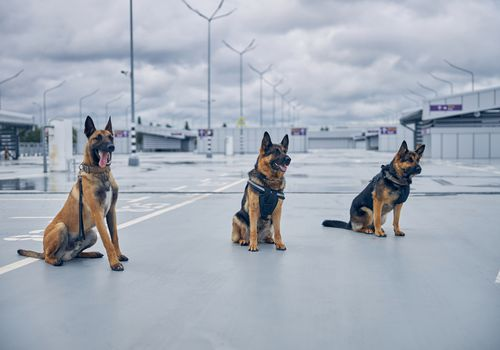 Three security detection dogs at the airport.