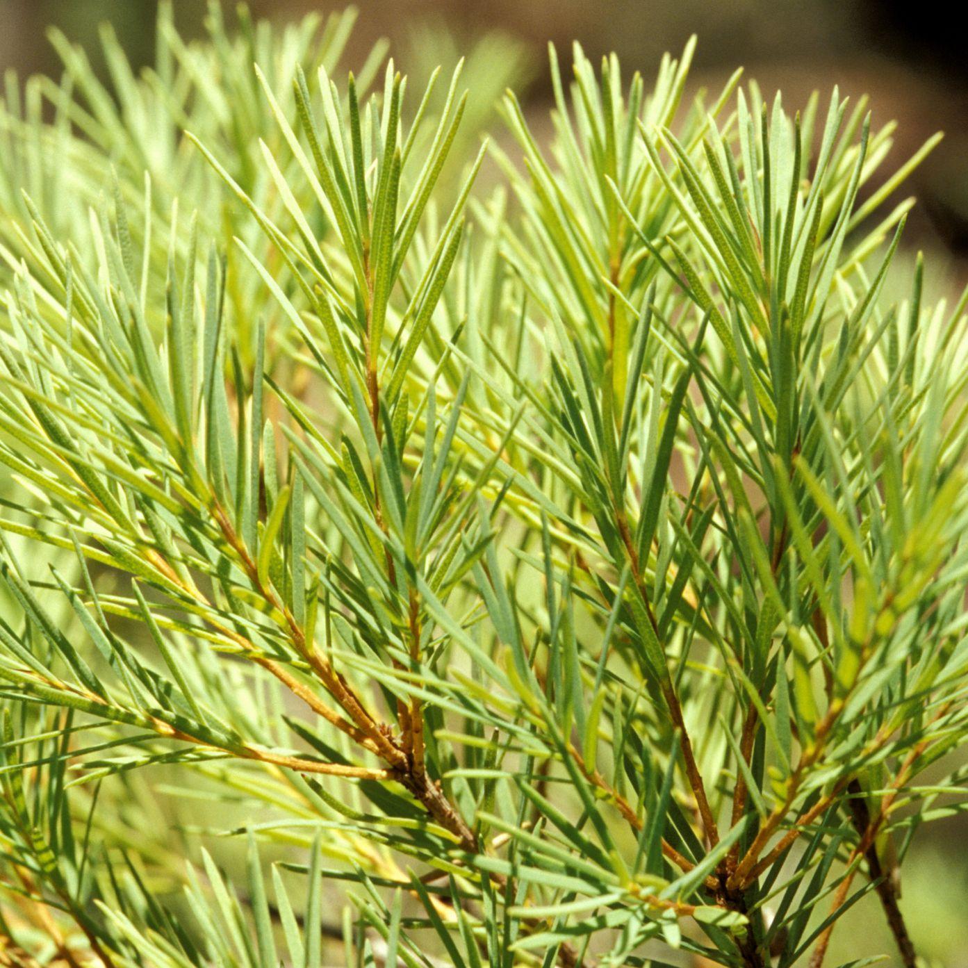Use Tea Tree Oil Anti-Fungal and More