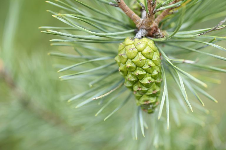 Close-up of a green Scots pine (Pinus sylvestris) cone