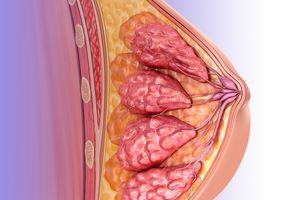 Female breast anatomy, illustration