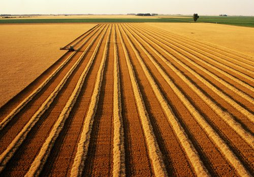 Large fields of wheat crops.