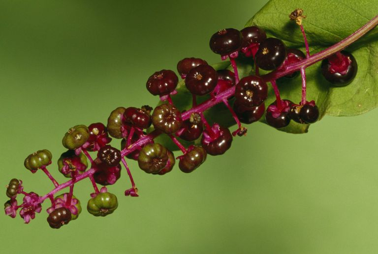 Pokeweed berry