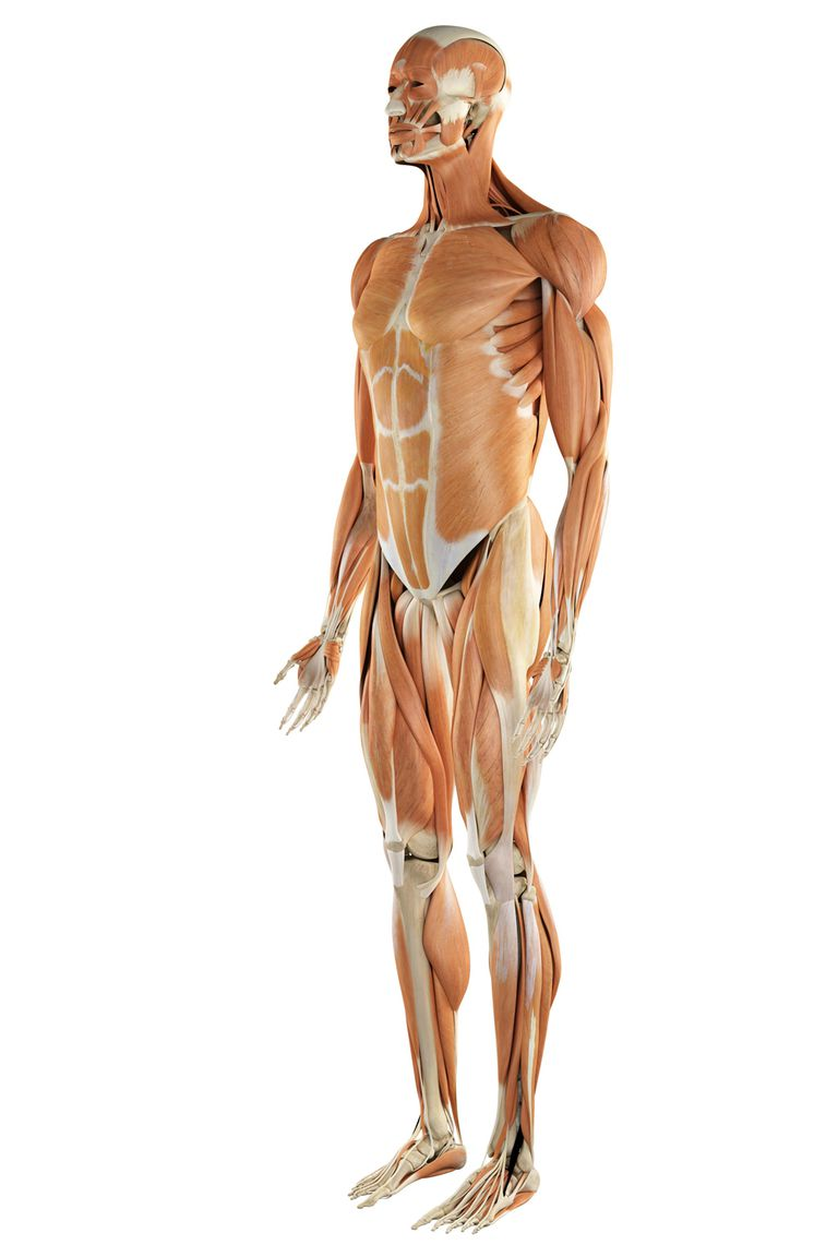 The human body's musculoskeletal system.