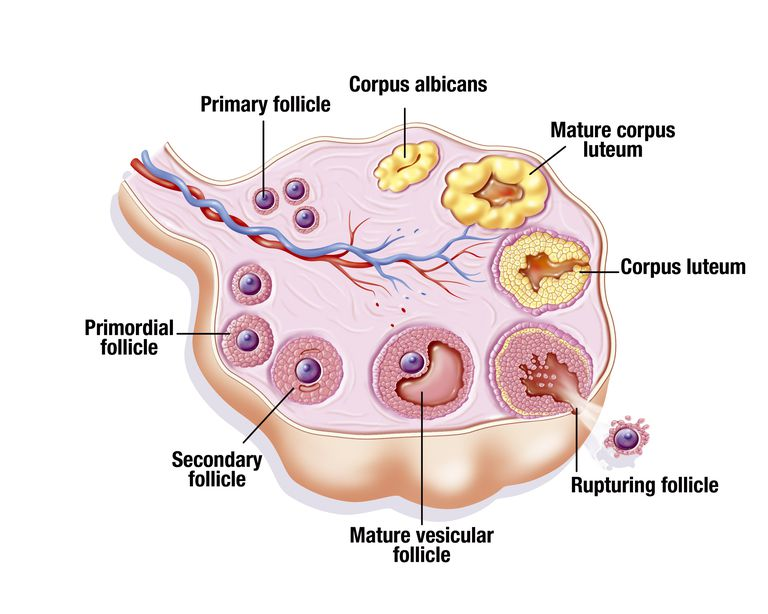 Ovarian Cycle, Illustration