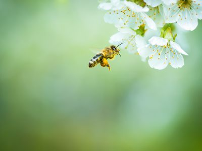 Honey bee in flight approaching blossoming cherry tree