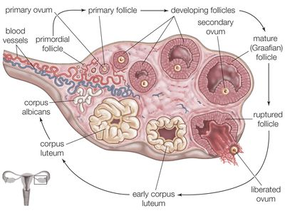 Illustration of the steps of ovulation: a primordial follicle grows and matures, before being released by the ovary into the fallopian tube.