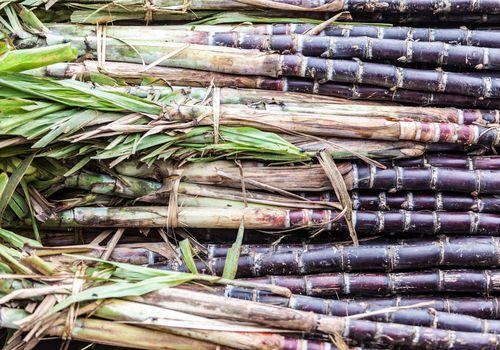 Close-up of sugar cane stalks