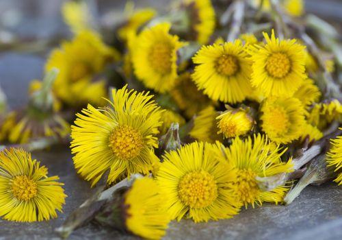 Closeup of coltsfoot (Tussilago farfara) flowers