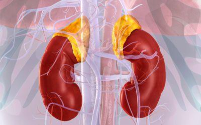 Kidneys and adrenal glands, illustration