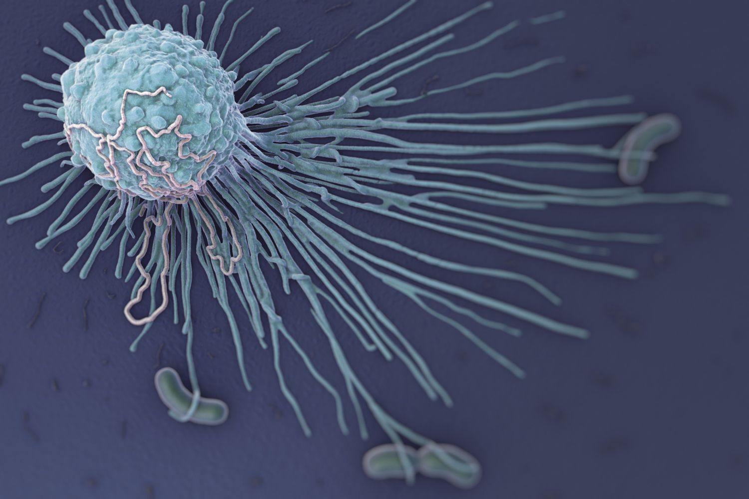 This close up shows a macrophage cell and bacteria. Macrophages are white blood cells that engulf and digest pathogens.