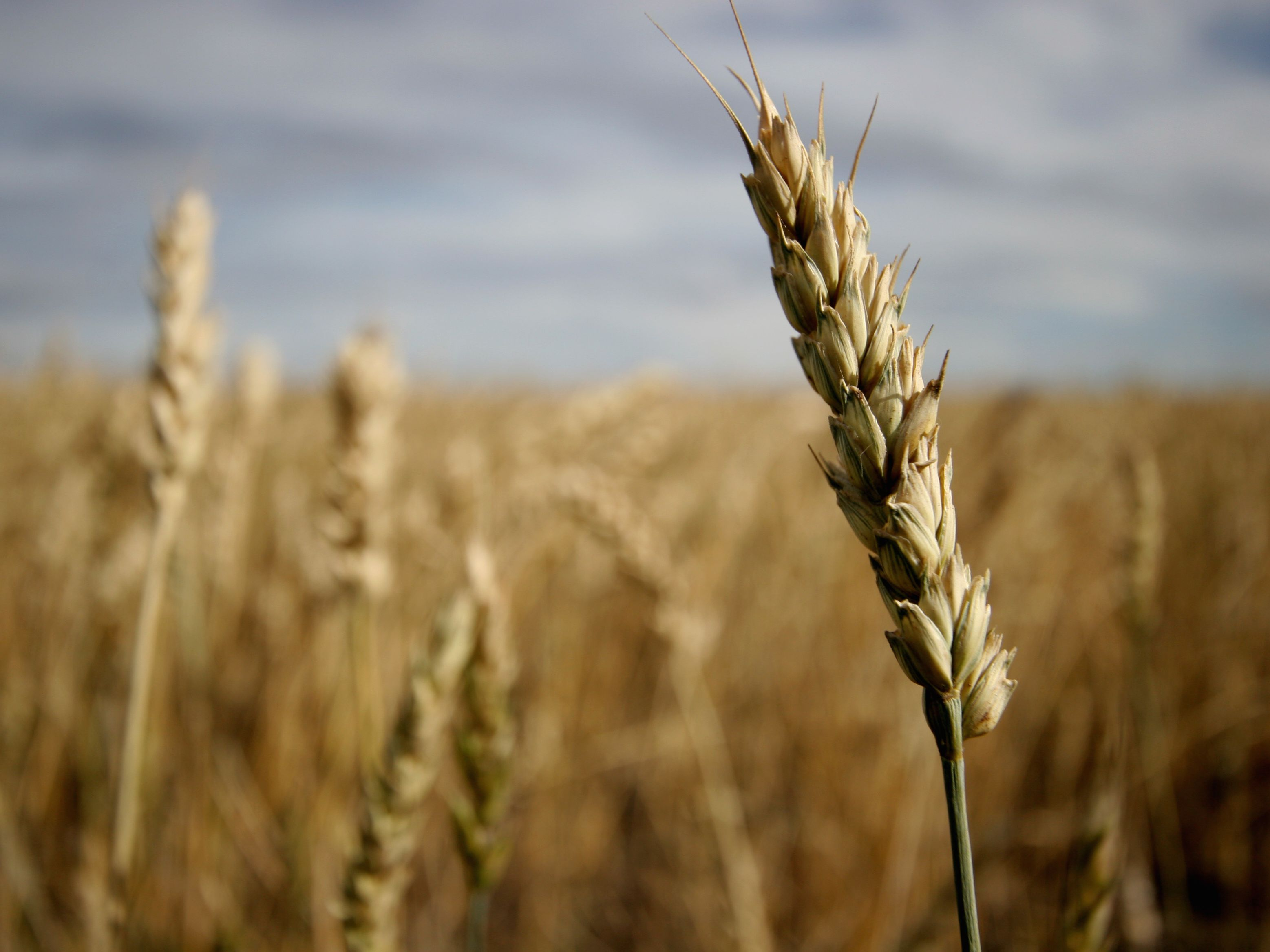 What Is a Wheat Allergy? What Are the Symptoms?