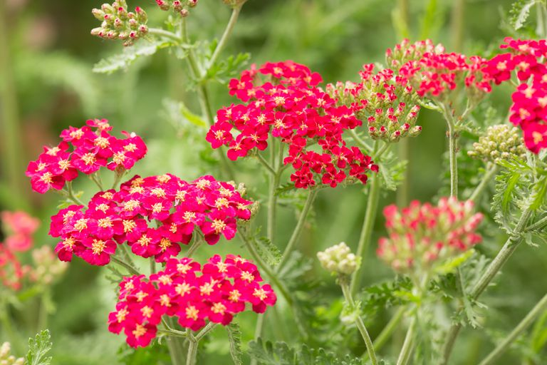 Red yarrow flowers