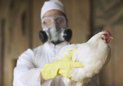 Bird flu.