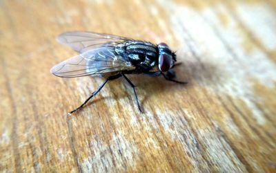 Close up of a house fly.