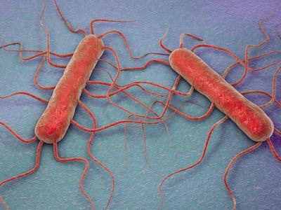 Listeria monocytogenes, illustration