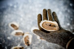 hand shucking oysters mollusk shellfish over ice