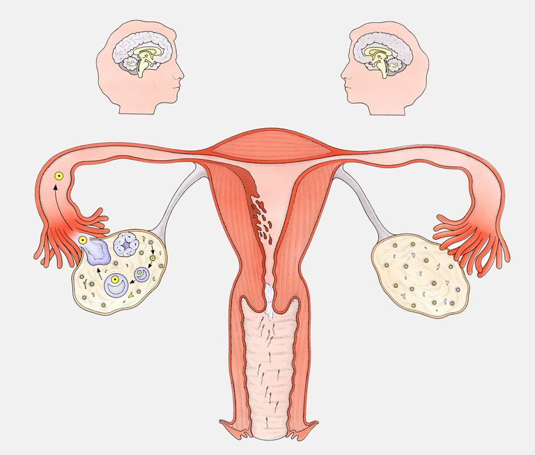 Diagram showing the interaction between female sexual organs and the brain, on one side, the normal reproductive cycle, and on the other, the effect of the contraceptive pill.