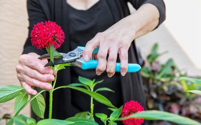 arthritic senior's hands cutting flowers