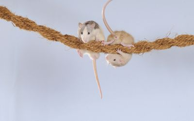 Rats hanging on a rope