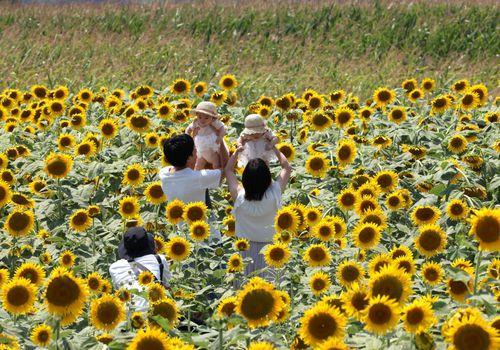 Newborn babies in sunflower field