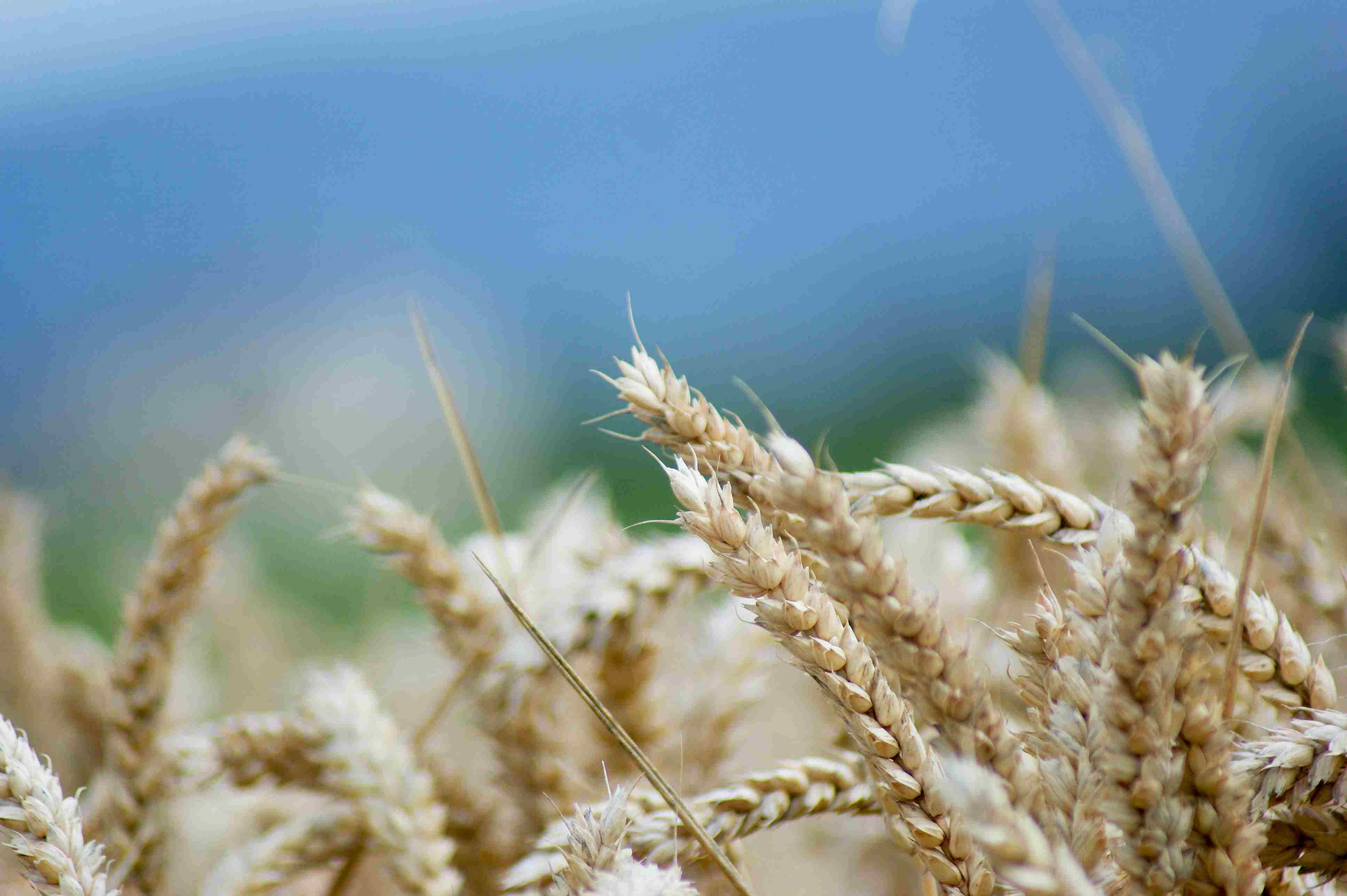 Close-up view of wheat with blurry sky in the background