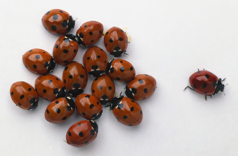 Asian ladybugs (Harmonia axyridis)