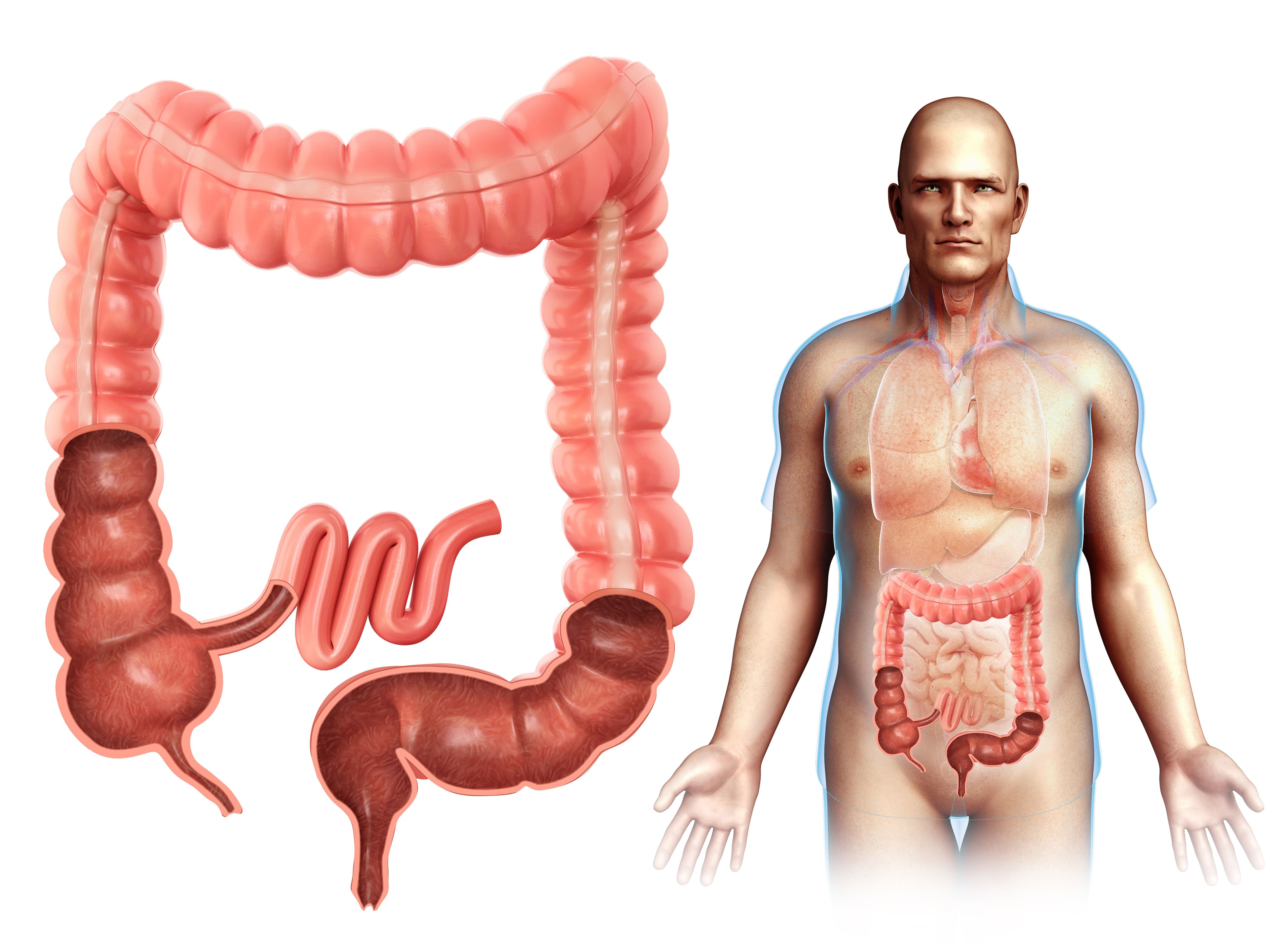 Organs And Function Of The Digestive System