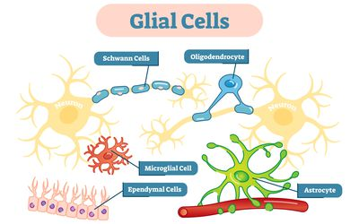 Glial cells illustration