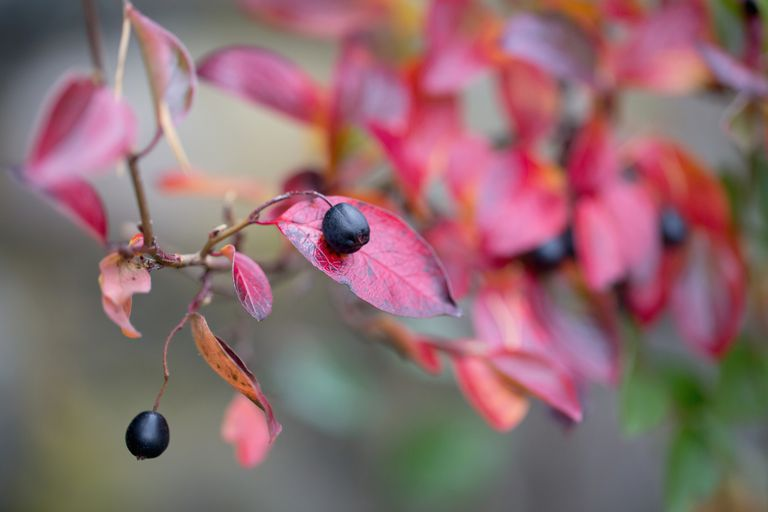 Black chokeberry on a branch