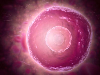 B-cell lymphocyte