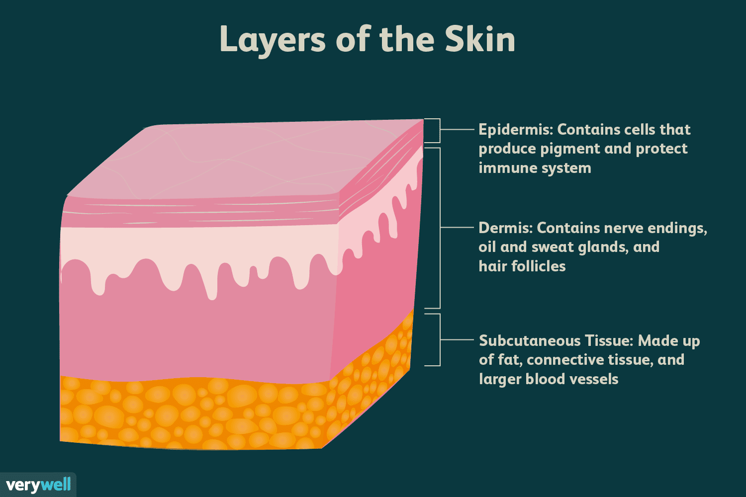 Skin Anatomy The Layers Of And Their Functions