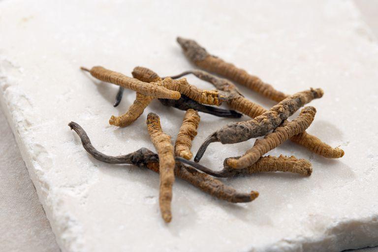 Chinese cordyceps fungus