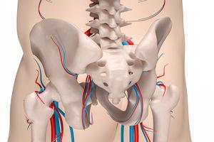 Pelvis rear view - skeleton and circulatory