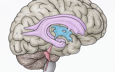 illustration of brain ventricles