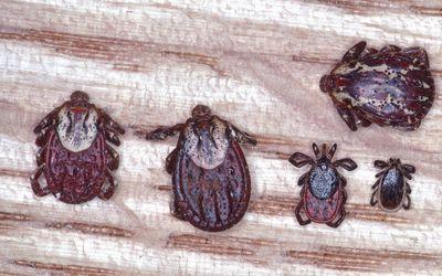 Wood tick and Deer tick comparison
