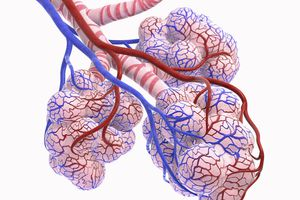 Alveoli in the lungs.