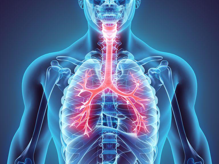 3D illustration of Larynx Trachea Bronchi