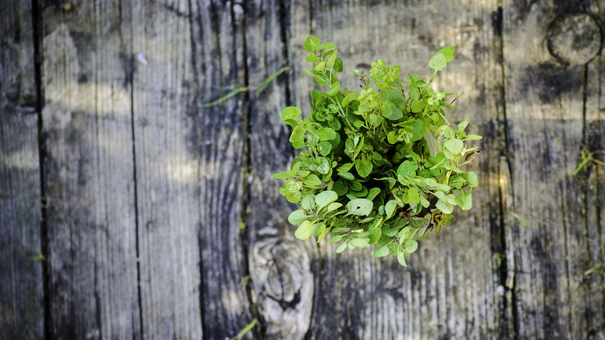 Oregano Oil: Benefits, Side Effects, Dosage, and Interactions