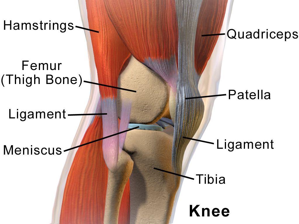 Illustration of knee anatomy