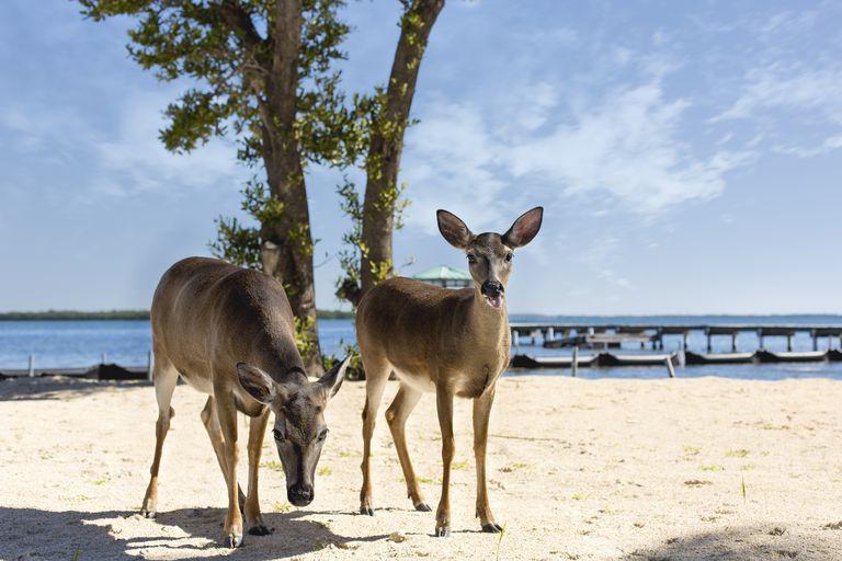 Two deer walking on the beach.