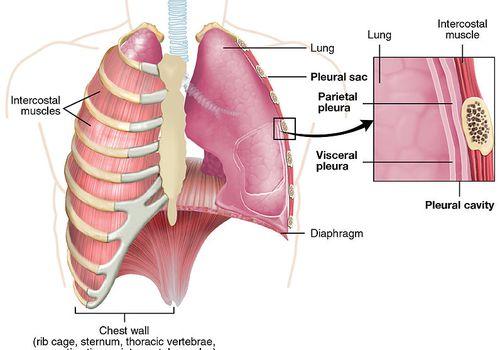 Pleura anatomy