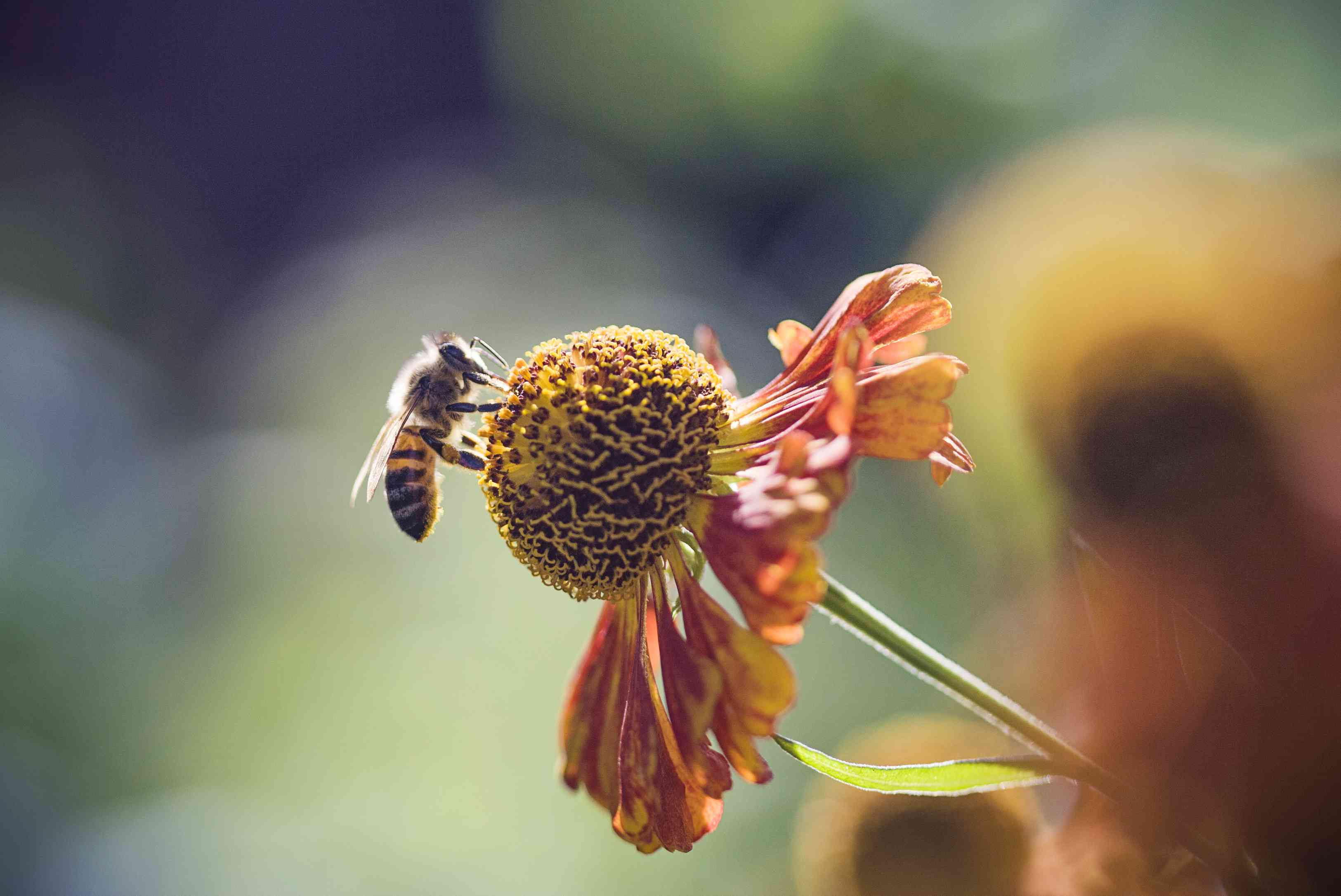 Honeybee collecting pollen from a flower.