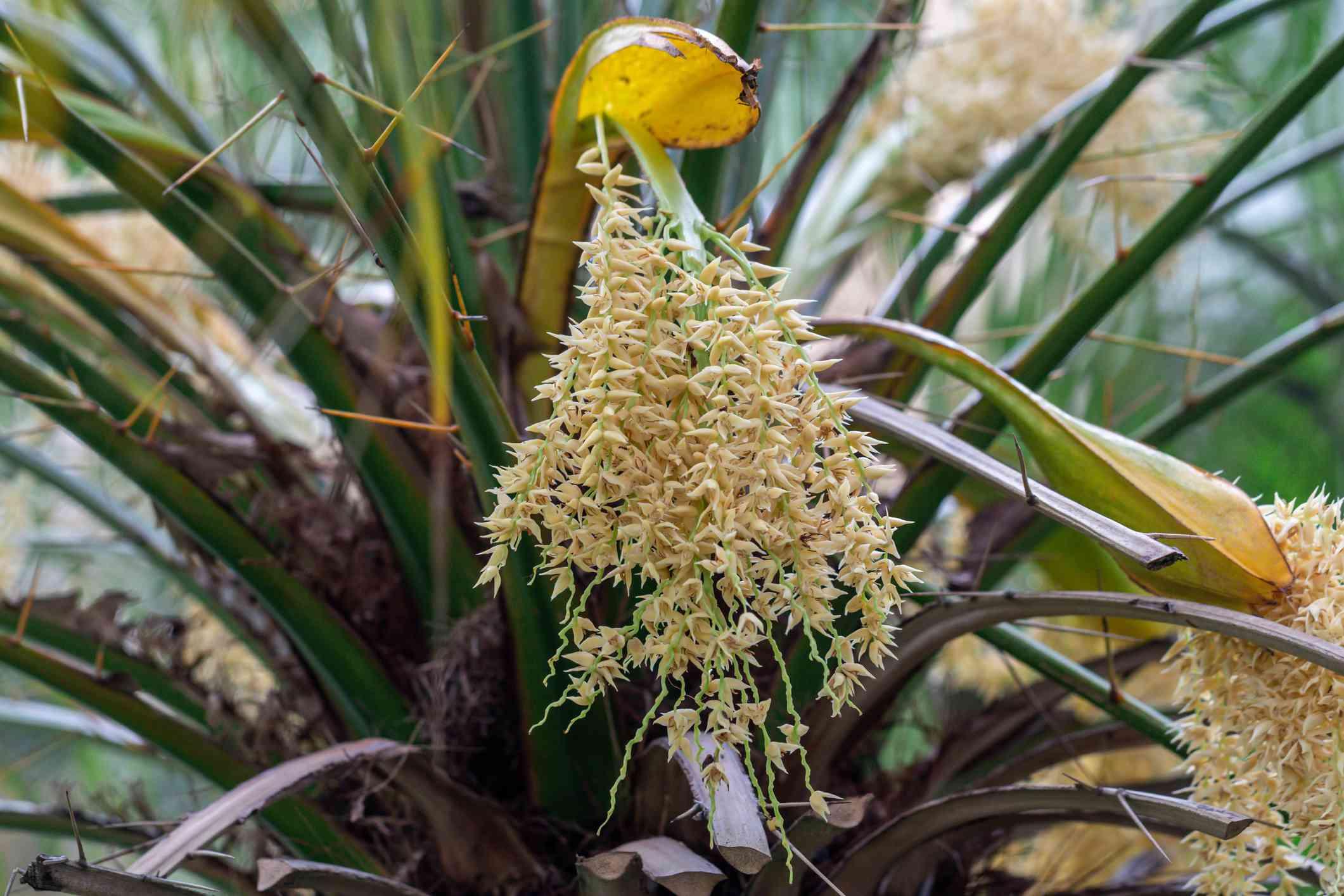 Close up Dwarf date palm